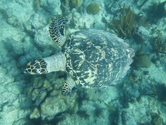 Big Blue Unlimited: Turtle!