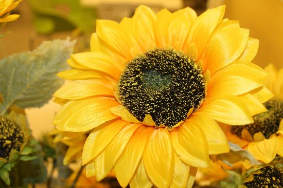 Pontian District, Malasia: sunflower