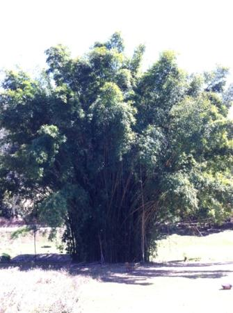 Eden Health Retreat: bamboo tree.
