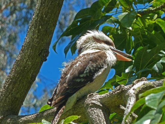 Yanchep National Park: kookaburra