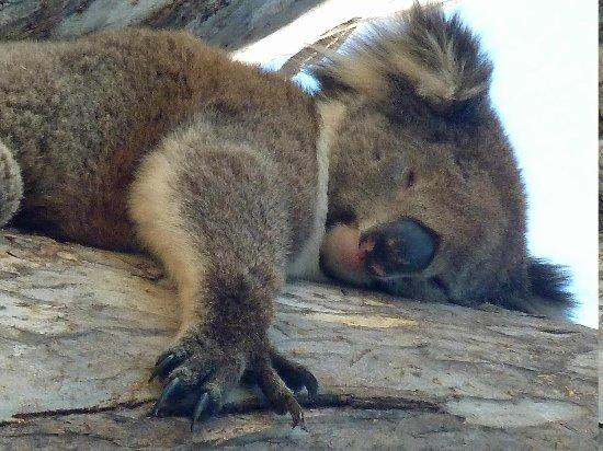 Yanchep National Park: koala sleeping