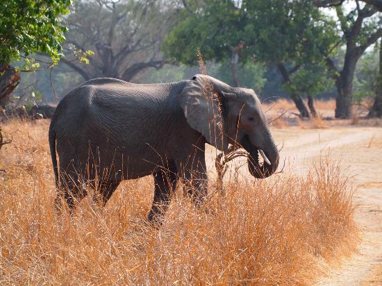Kafunta River Lodge : Elephants were in abundance, always great to watch
