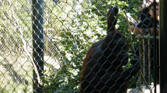 orangutan - Picture of Los Angeles Zoo & Botanical Gardens, Los ...
