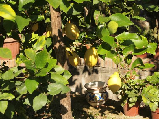 Relais Villa Angiolina: Lemons