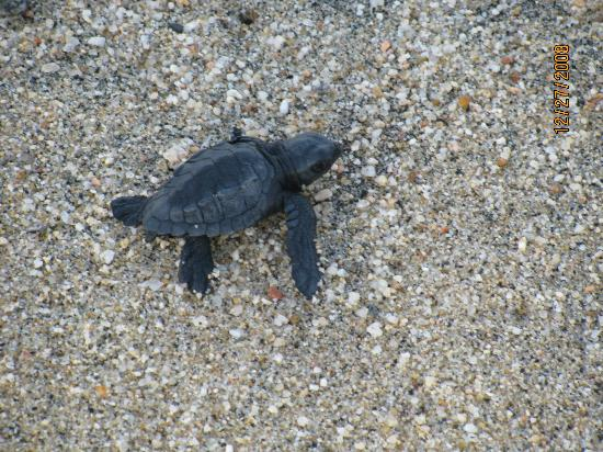 Baja Beach Oasis: Turtle Hatchling Right Out Front