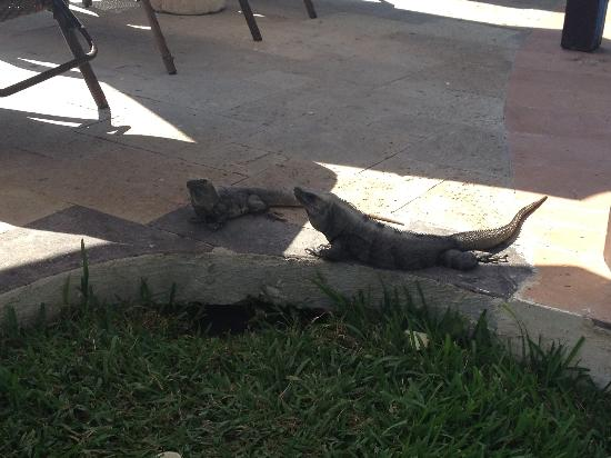 Royal Hideaway Playacar: Iguanas