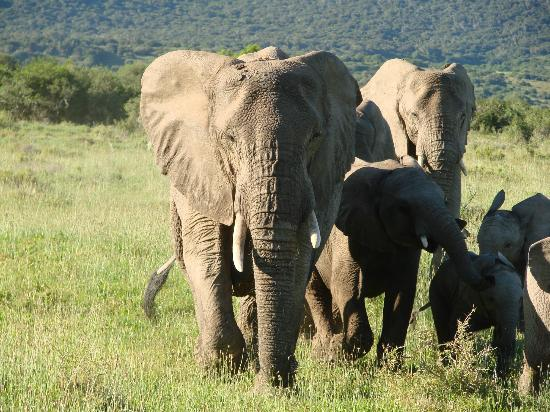 Kariega Game Reserve - All Lodges: Many Elephants to view
