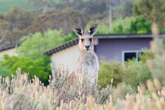 Golden Door Health Retreat & Spa Elysia: one of the many inquisitive kangaroos on the property