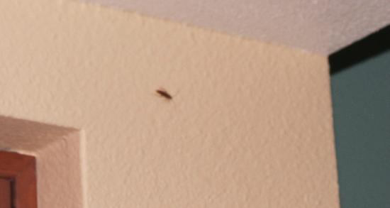Hilton Grand Vacations at SeaWorld: Cockroach on kitchen wall