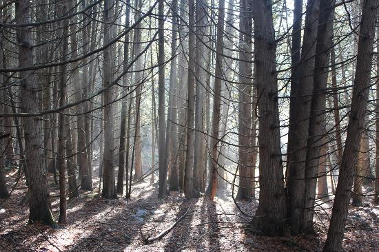 North Kawartha, Канада: The lovely Cedar woods just a short walk away from the resort.
