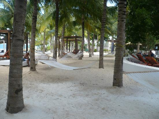 Oasis Palm: Beach hammocks