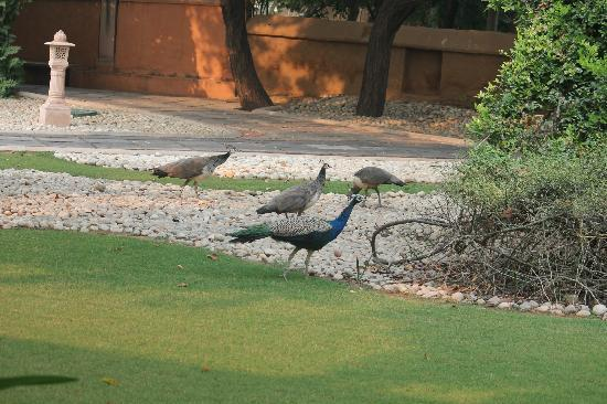 ‪‪The Oberoi Rajvilas‬: Peacocks outside our room