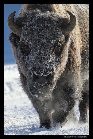 Lamar Valley: Bison in frost