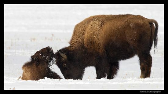 Lamar Valley: bison cow and calf