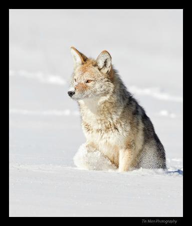 Lamar Valley: coyote in snow 
