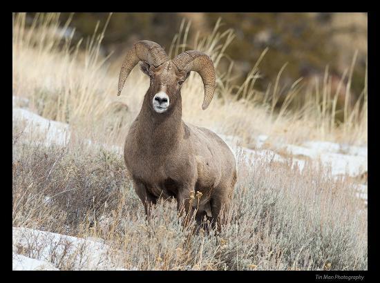 Lamar Valley: bighorn sheep