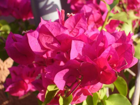 Riad Amira Victoria : Bougainvillea in allen Farben auf der Dachterasse