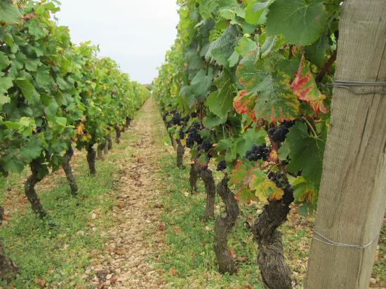 Alter and Go : Some vines on the tour.