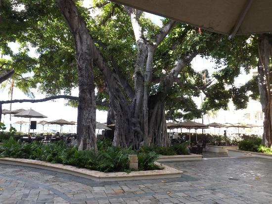 Moana Surfrider, A Westin Resort & Spa: Banyan Tree