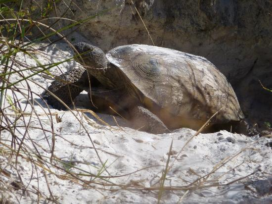 Tortoise in Bowditch Point Park