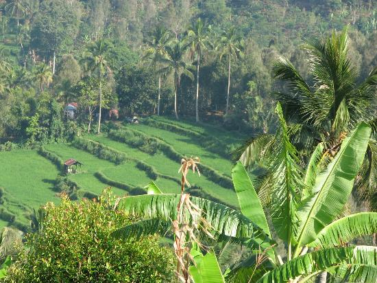 Aditya Homestay: rice fields near aditya