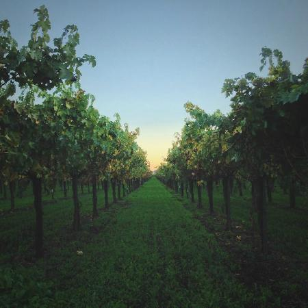 Frog's Leap Winery : Setting sun over the Frog's Leap Vineyard.