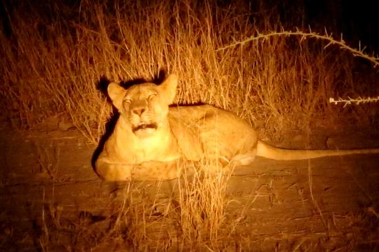 Manyara Ranch Conservancy: lions on the night drive