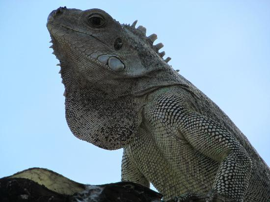 Palm Island Resort & Spa: happy iguanas