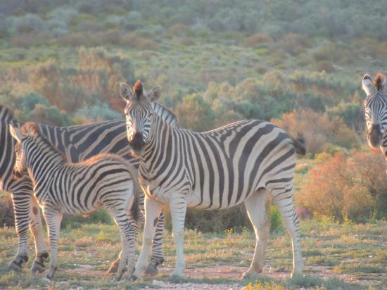 White Lion Lodge: zebra safari