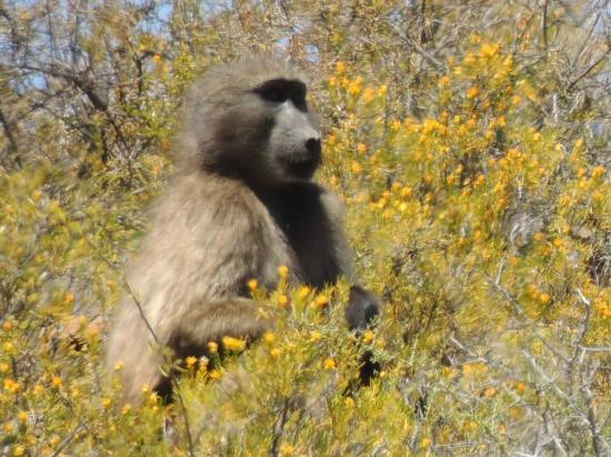 White Lion Lodge: baboon