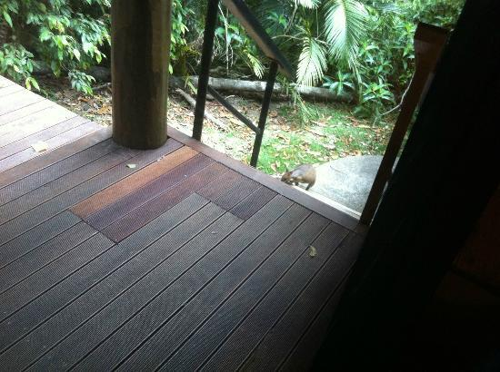 Crater Lakes Rainforest Cottages : pademelon