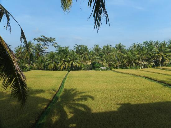 Junjungan Ubud Hotel and Spa: Rice Paddy