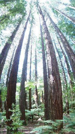 Redwoods, Whakarewarewa Forest: Huge stand of trees