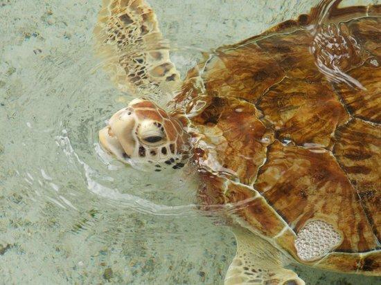 Marine Habitat at Atlantis: turtle