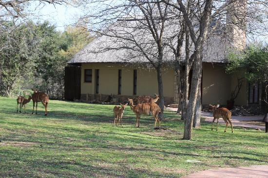 ‪‪Shumbalala Game Lodge‬: When we first arrived, these beautiful creatures were roaming the grounds!
