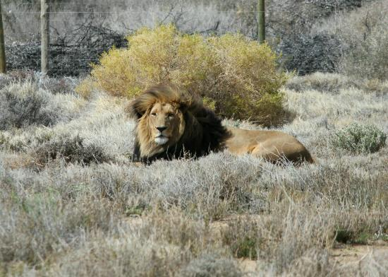 Inverdoorn Game Reserve: Lion in the Reserve