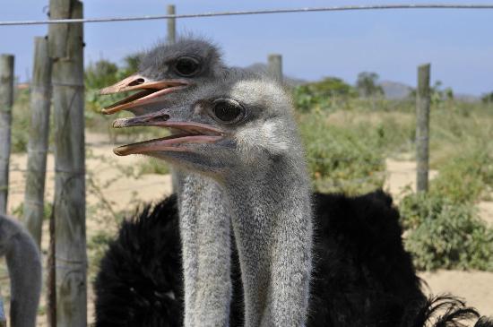 Porlamar, Venezuela: Nuestras avestruces