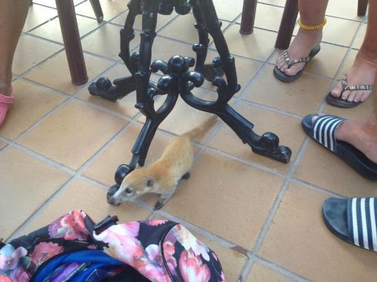 Hotel Riu Tequila: baby coati
