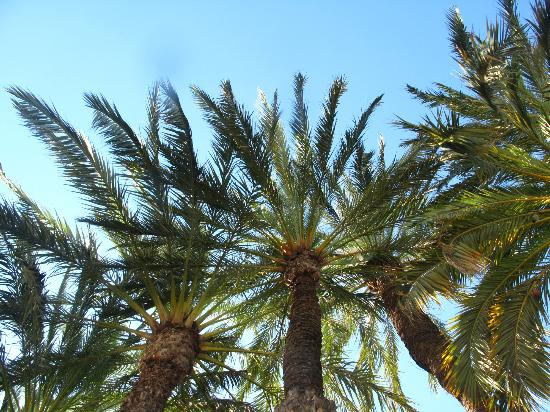 Palm trees around town - Photo de Palm Groves (Palmeral) of Elche, Elche - Tr...