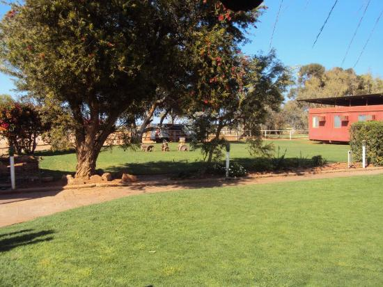 Curtin Springs Wayside Inn: Beautiful lush grass. Spent lots of time lying down and reading a book on the soft grass