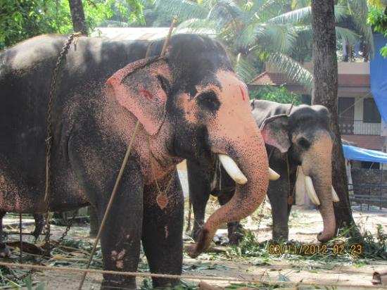 Thrissur, India: Punnathurkotta Elephant Camp-Guruvayur
