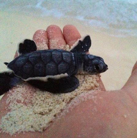 Gran Caribe Resort: ¡¡Increíble!! echando tortuguitas al mar
