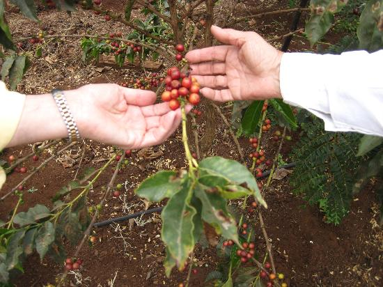 Ngorongoro Farm House, Tanganyika Wilderness Camps: coffee beans