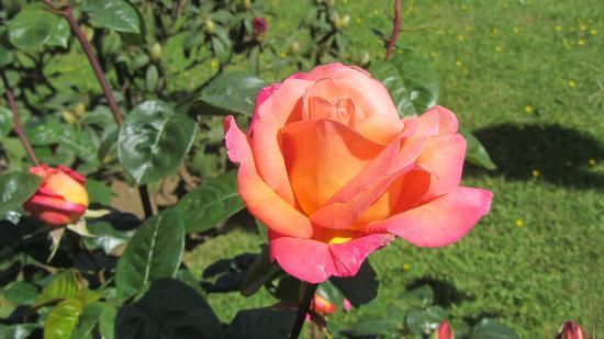 Melillanca: Hermosas rosas en el jardín