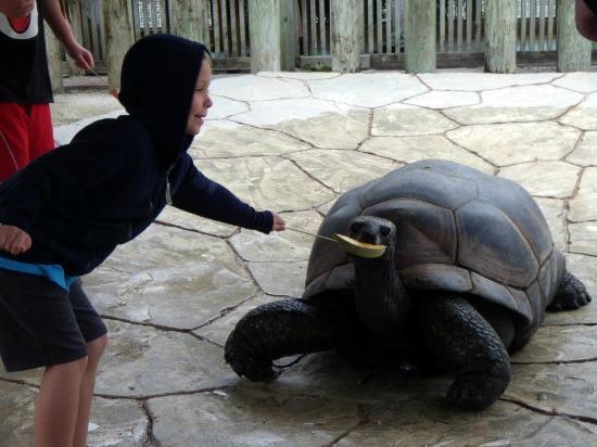 Земля аллигаторов: turtle