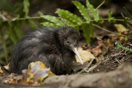 Waipoua Lodge: Take a night walk to discover kiwi in the wild
