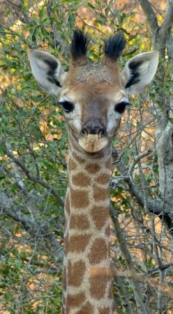 Vuyani Safari Lodge: Baby Giraffe