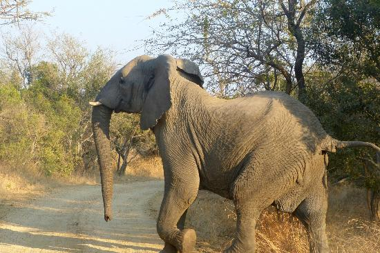 The Vuyani Safari Lodge: Elephant Crossing in Front of us