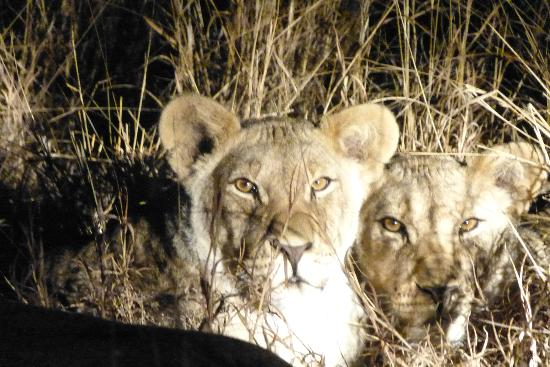 The Vuyani Safari Lodge: Lions Cubs on Night Game Drive