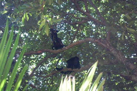 Iberostar Tucan Hotel : mama monkey and her babies